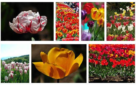 тюльпаны в садах Украины
