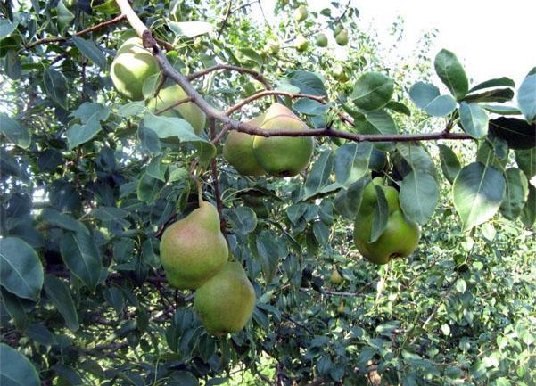 плоды груши Добрянка
